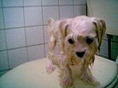 布丁1(2007~2009):布丁第3次洗澡4
