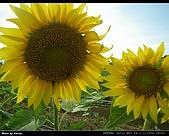 2008.08.23 向陽農場,星海之戀:IMGP0198.jpg
