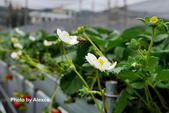 2016.02.21 草莓達人の高貴草莓:P1350392.JPG