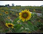 2008.08.23 向陽農場,星海之戀:IMGP0203.jpg