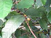 抗癌解毒退火的青草葯:咖啡樹上的咖啡豆.JPG