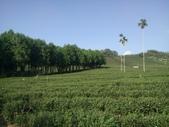 竹山  山坪頂茶園:DSC_1820.JPG