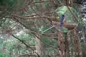 20140716大雪山:很遠的美麗鳥兒