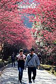 九族櫻花祭:IMG_3524.JPG