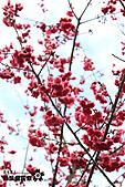 九族櫻花祭:IMG_3201.JPG