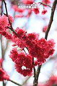 九族櫻花祭:IMG_3204.JPG