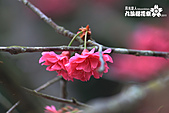 九族櫻花祭:IMG_3210.JPG