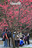 九族櫻花祭:IMG_3217.JPG