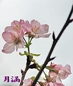 98.3.10天元宮Part3:DSC_0037櫻.jpg