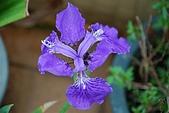 96.2.17迷迭香花,櫻花和鳶尾花:DSC_0045 (小型)