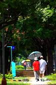 東豐路台灣灤樹:IMG_6739.JPG