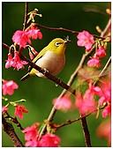 紅櫻花綠繡眼:CRW_2155.jpg