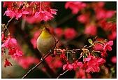 紅櫻花綠繡眼:CRW_2120.jpg
