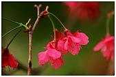 紅櫻花綠繡眼:CRW_2162.jpg