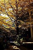武陵農場銀杏鮮黃:IMG_7417.JPG