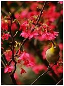 紅櫻花綠繡眼:CRW_2121.jpg