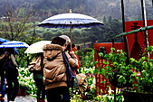 陽明山竹子湖下雨的海芋緣:IMG_3235.JPG