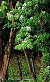 2010油桐花:IMG_3852-1.JPG