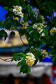 99年加羅林魚木:IMG_3142.JPG