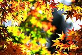 福壽山松廬楓紅:IMG_6568.JPG
