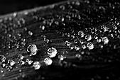陽明山竹子湖下雨的海芋緣:IMG_3250.JPG