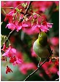 紅櫻花綠繡眼:CRW_2122.jpg
