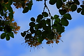 加羅林魚木:IMG_6923.JPG