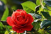 士林官邸玫瑰:IMG_2084.JPG