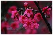 紅櫻花綠繡眼:CRW_2097.jpg