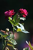士林官邸玫瑰:IMG_2114.JPG