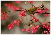 紅櫻花綠繡眼:CRW_2128.jpg
