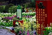 陽明山竹子湖下雨的海芋緣:IMG_3314.JPG