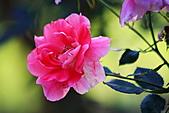 士林官邸玫瑰:IMG_2121.JPG