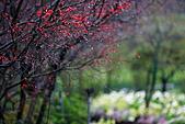 陽明山竹子湖下雨的海芋緣:IMG_3316.JPG