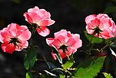 士林官邸玫瑰:IMG_2144.JPG