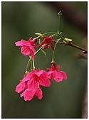 紅櫻花綠繡眼:CRW_2100.jpg