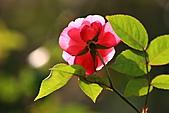 士林官邸玫瑰:IMG_2158.JPG