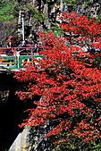 武陵農場楓紅&落羽松:IMG_7187.JPG