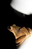 CLICK相簿:20110713白頷樹蛙