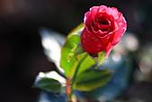 士林官邸玫瑰:IMG_2183.JPG