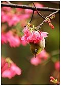 紅櫻花綠繡眼:CRW_2132.jpg