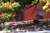 加羅林魚木下悠閒的珠頸斑鳩:IMG_5168.JPG