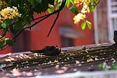 加羅林魚木下悠閒的珠頸斑鳩:IMG_5169.JPG