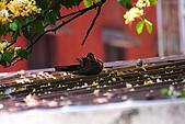 加羅林魚木下悠閒的珠頸斑鳩:IMG_5171.JPG