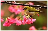 紅櫻花綠繡眼:CRW_2135.jpg