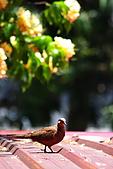 加羅林魚木下悠閒的珠頸斑鳩:IMG_5173.JPG