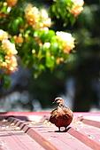 加羅林魚木下悠閒的珠頸斑鳩:IMG_5174.JPG