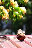 加羅林魚木下悠閒的珠頸斑鳩:IMG_5178.JPG