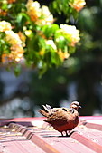 加羅林魚木下悠閒的珠頸斑鳩:IMG_5179.JPG