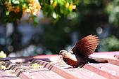 加羅林魚木下悠閒的珠頸斑鳩:IMG_5180.JPG
